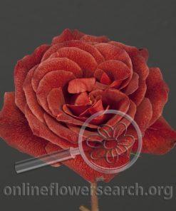 Rose Cinnamon Spice