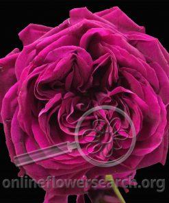 Rose Gospel (Discontinued)