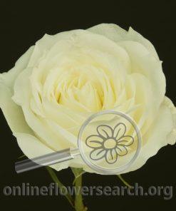 Rose Alabaster