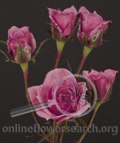 Spray Rose Chardoney / Chardonnay