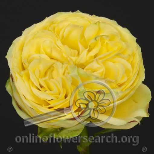 Rose Catalina