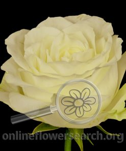 Rose Mayra's Rose White