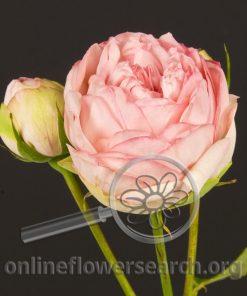 Spray Rose Bridal Piano