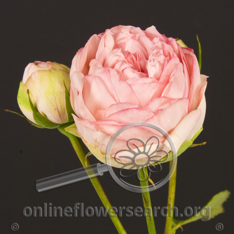 Online Flower Search