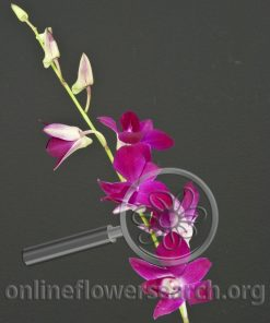 Dendrobium Juree Red