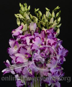 Dendrobium King Dragon