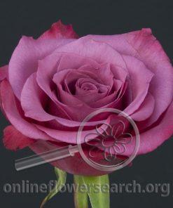 Rose Shogun