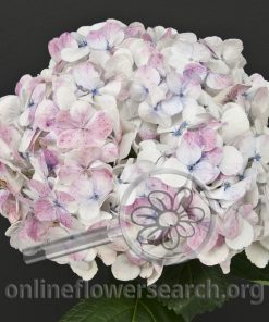 Hydrangea Antique White (White/Pink Bicolor)