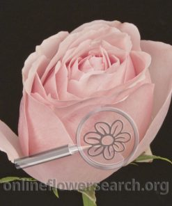 Rose Aphrodite