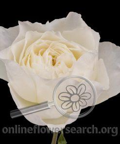 Rose White Cloud