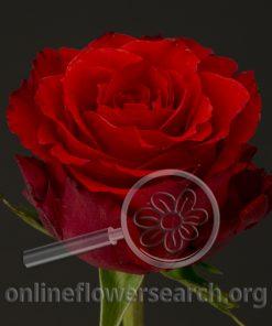 Rose Altamira