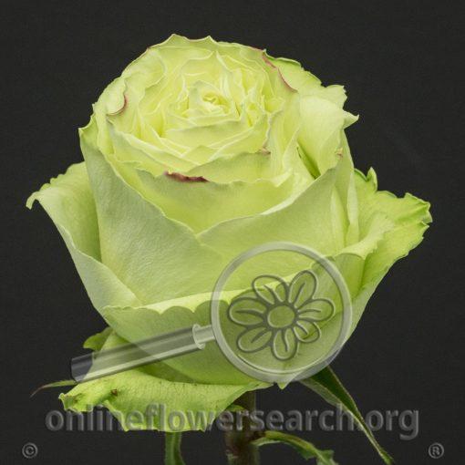 Rose Lemonade (aka Limonada)