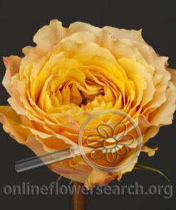 Rose Caraluna