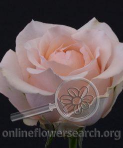 Rose Favourite