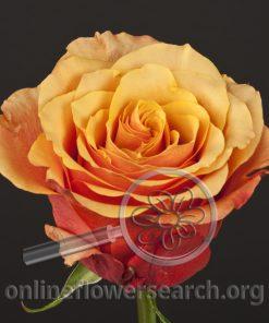 Rose España (Espana)