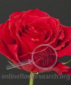 Rose Alizee