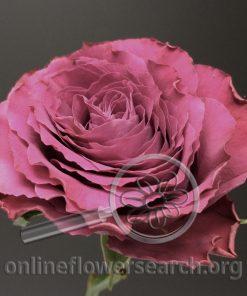 Rose Ascot
