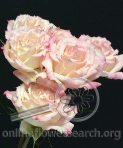 Spray Rose Zar Jorge