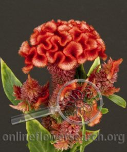 Celosia Cockscomb Orange
