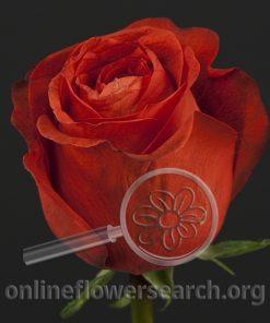 Rose Cioccolato