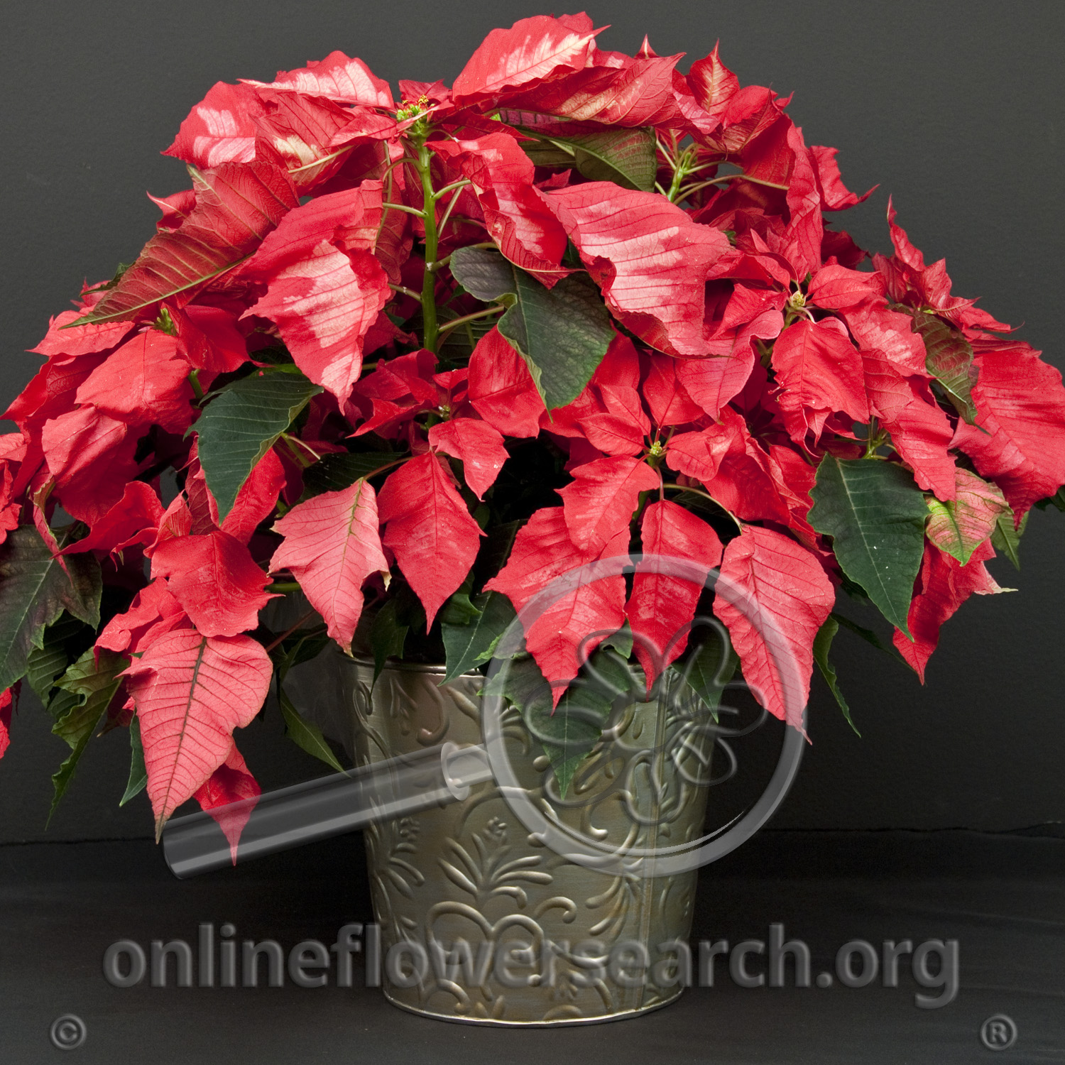 Poinsettia Ice Punch Online Flower Search
