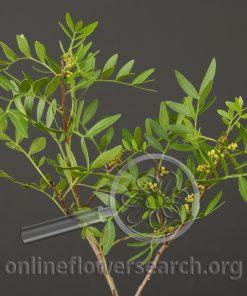 Chinese Pistache Foliage