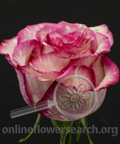 Rose Blah-Blah