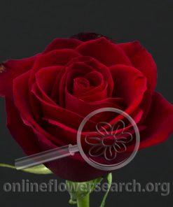 Rose Colinda