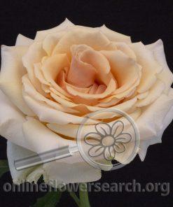 Rose Ghobi (aka Pearl Finess)