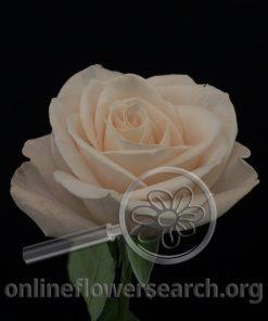 Rose Cream Kiss