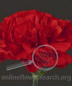 Carnation Kaiser