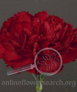 Carnation Amico Crimson