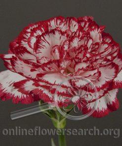 Carnation Bacarat