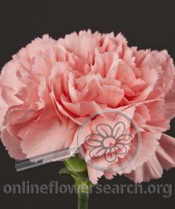 Carnation Betsy