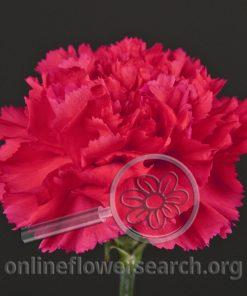 Carnation Bizet