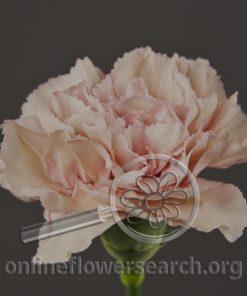 Carnation Creola