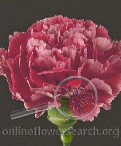 Carnation Ganache