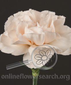 Carnation Lizzy