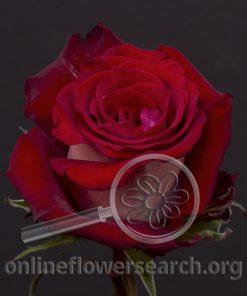 Rose Emilia