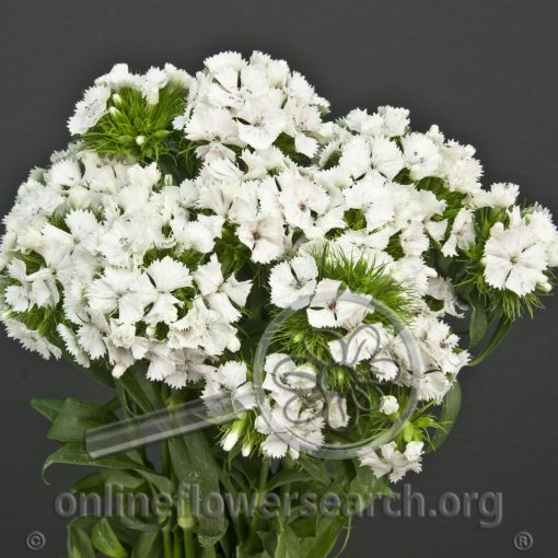 Dianthus Gypsy White