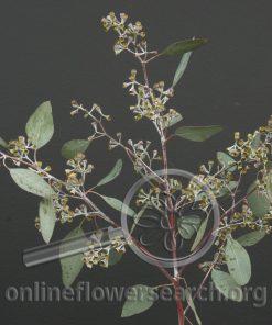 Eucalyptus Cupped