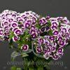 Dianthus Purple