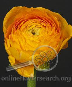 Ranunculus Cloni Dark Orange
