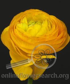 Ranunculus Cloni Light Orange