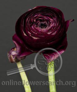 Ranunculus Black