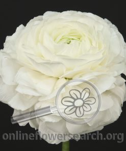 Ranunculus Japanese Rhone White