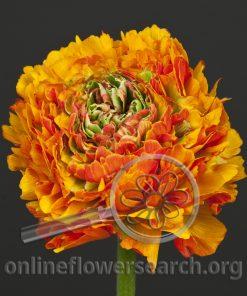 Ranunculus Pon-Pon Trilly