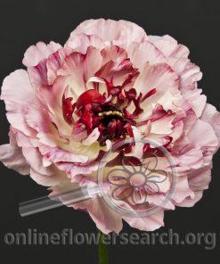 Ranunculus Japanese Charlotte