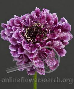Scabiosa Purple Japanese