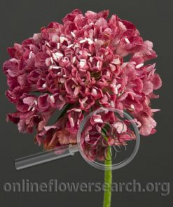 Scabiosa Red Japanese